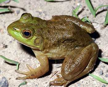 Amphibians Names in Hindi: WhatIsCalled.com