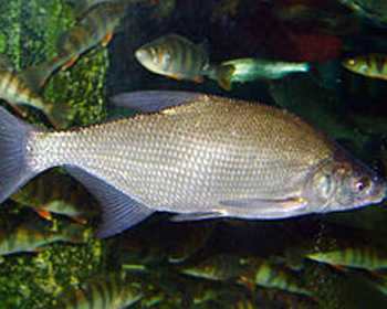 Next 80 fishes names in portuguese for Robalo fish in english