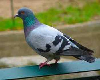Common Pigeon In Hindi Whatiscalled Com