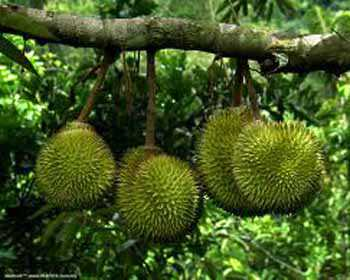 durian fruit in spanish devil fruits