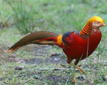 Pheasant Pronounce Golden Pheasant In All