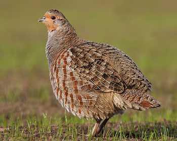 Pheasant Pronounce Next 20 - Bird Names i...