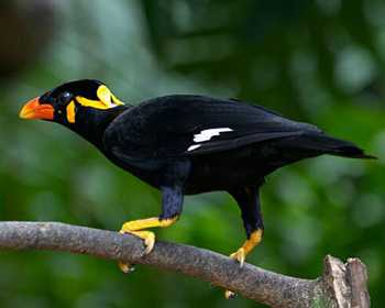 Hill Myna in Malayalam: WhatIsCalled.com - photo#41