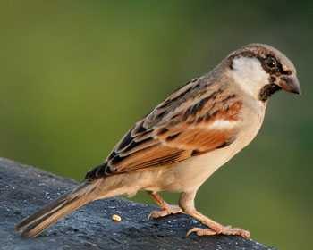 House Sparrow In Marathi Whatiscalled Com