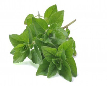 Oregano In Marathi Whatiscalled Com