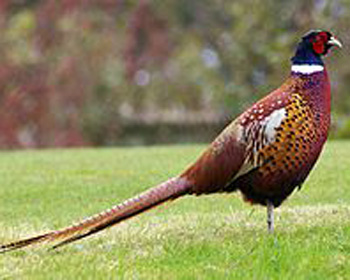 Pheasant Pronounce Pheasant In All Languages