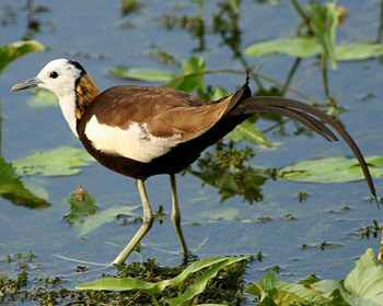 Pheasant Pronounce Pheasant Tailed Jacana In All