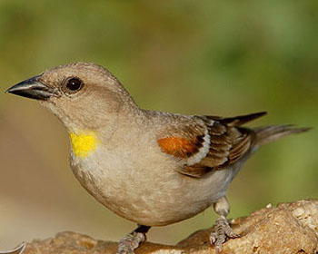 Yellow Throated Sparro...