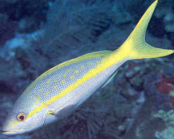 Yellowtail Snapper in Telugu: WhatIsCalled com